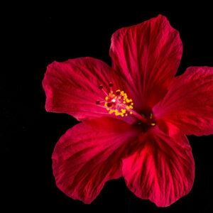 hibiscus fleur